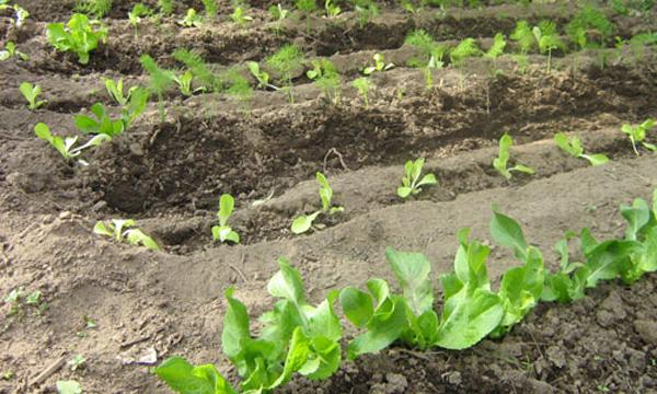 coltivare zucca